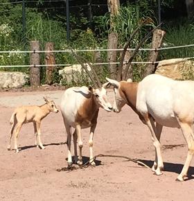 Zweiter Säbelantilopen-Nachwuchs im Zoo Vivarium