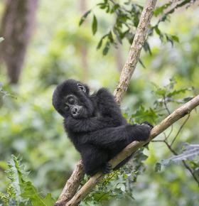 "Vortrag ""1000 Berggorillas"" im Zoo Vivarium am 1. Oktober"