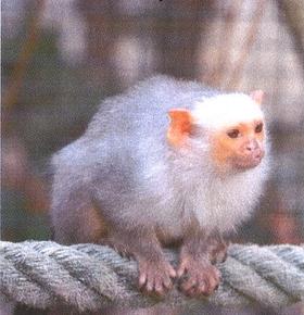 Abendführung im Zoo Vivarium am 15. Juni: Mit den Silberäffchen wird eine neue Affenart vorgestellt