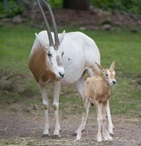 Zum ersten Mal Nachwuchs bei den Säbelantilopen und Frettchen im Zoo Vivarium Darmstadt