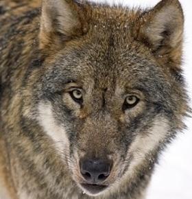 Vortrag über Wölfe in Hessen im Zoo Vivarium am 1. November
