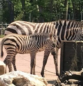 Lang ersehnter Zebra-Nachwuchs im Zoo Vivarium