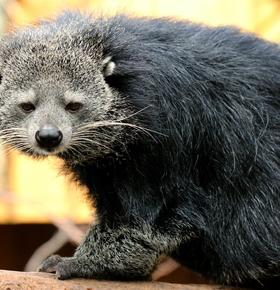 5. Welt-Binturong-Tag am 11. Mai 2019 / Führungen im Zoo Vivarium